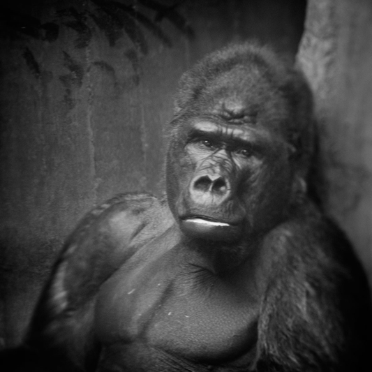 anne-berry-gorilla-at-krefeld